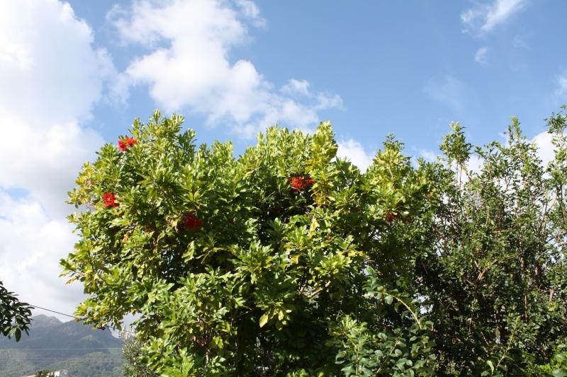 Stenocarpus sinuatus Stenoc11