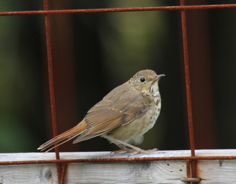 Quelqu'un poue m'aider à identifier cet oiseau? Img_8011