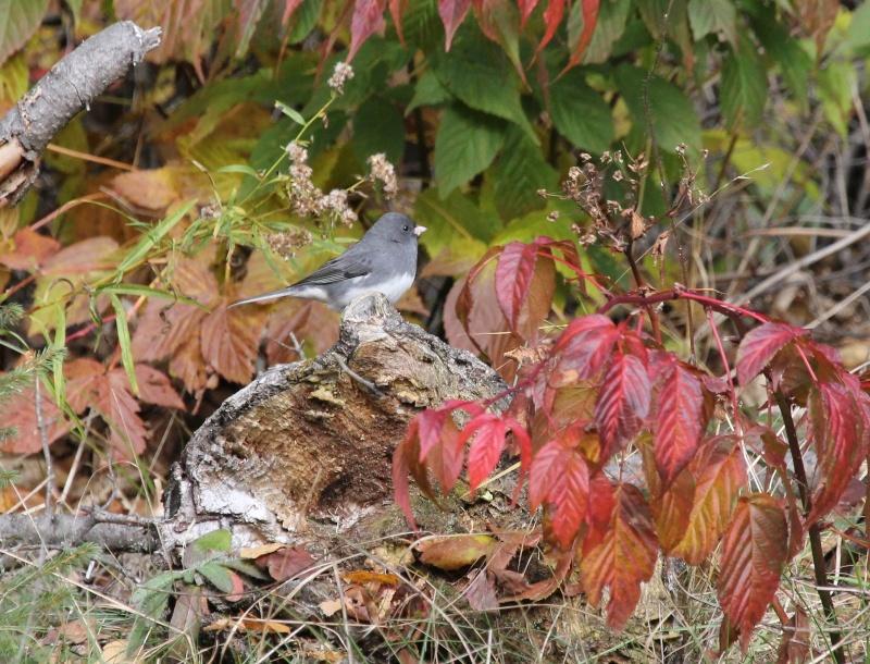 Junco et couleur d'automne Img_8510