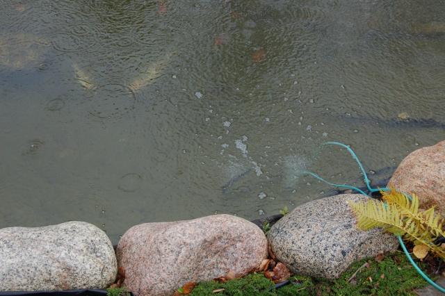 hiverniser un bassin avec des poissons Photo_14