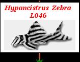Liens: Hypancistrus Zébra L 046 Gs_21e10