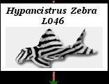 Liens: Hypancistrus Zébra L 046 Gs_2b010