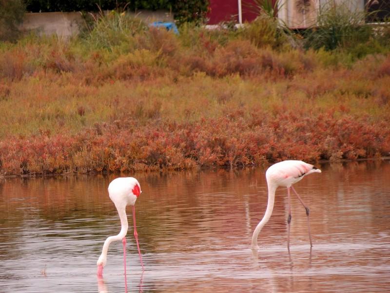 les flamands roses de l'étang de thau  Img_8312