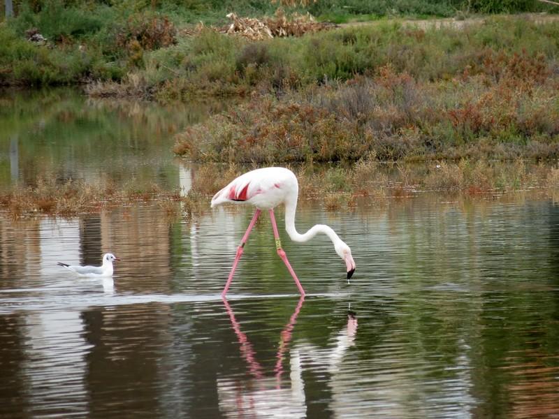 les flamands roses de l'étang de thau  Img_8314