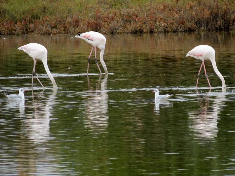 les flamands roses de l'étang de thau  Img_8316