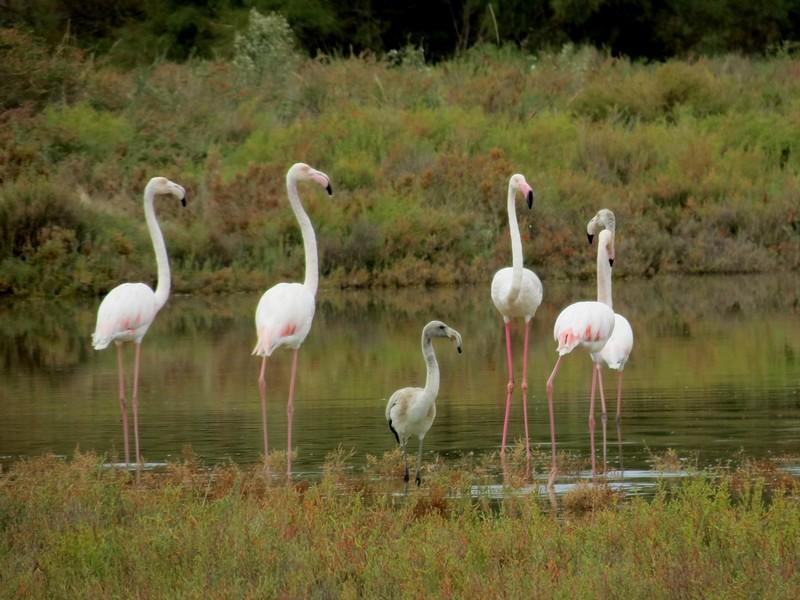 les flamands roses de l'étang de thau  Img_8319