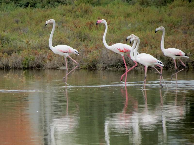 les flamands roses de l'étang de thau  Img_8321