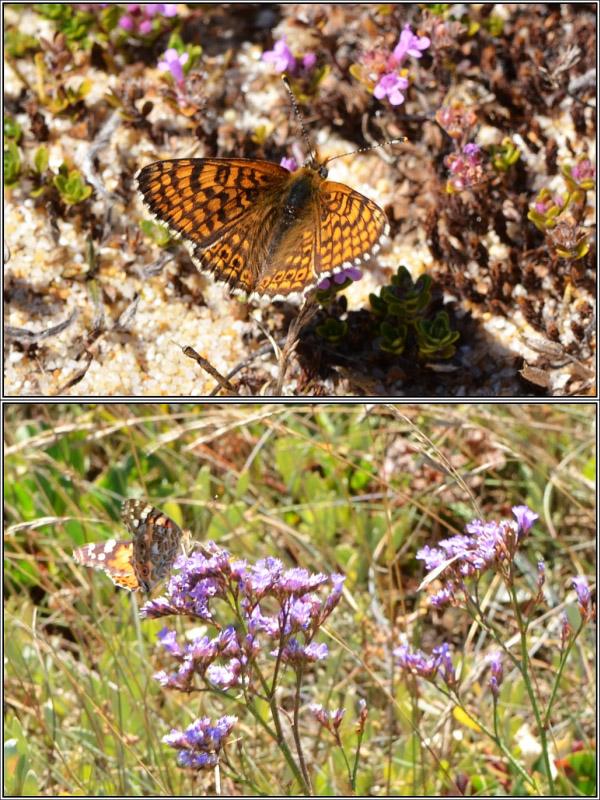 Sur les dunes (56) - Rétrospective d' août 2015 Faune-10