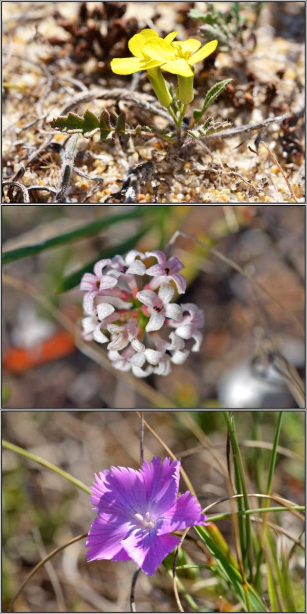 Sur les dunes (56) - Rétrospective d' août 2015 Flore_10