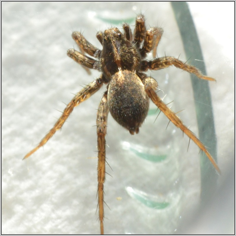Pardosa Pardos11