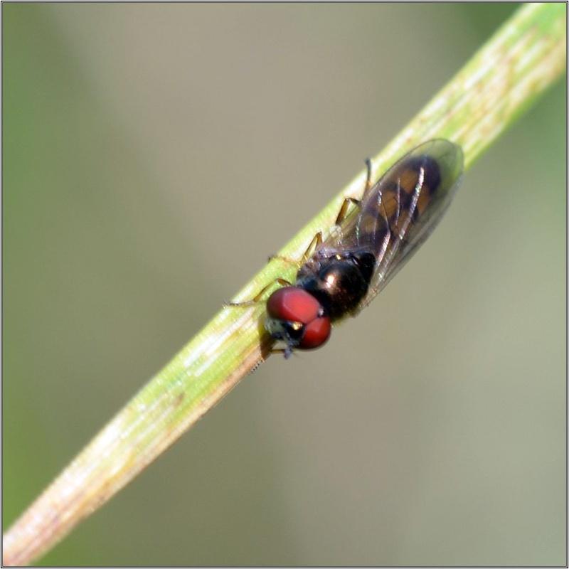Un tout petit Syrphe [Melanostoma sp.] Syrphe13