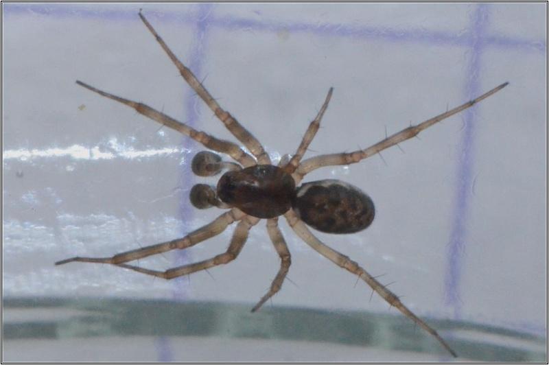 Linyphiidae : Tenuiphantes ou plutôt Neriene ? Tenuip10