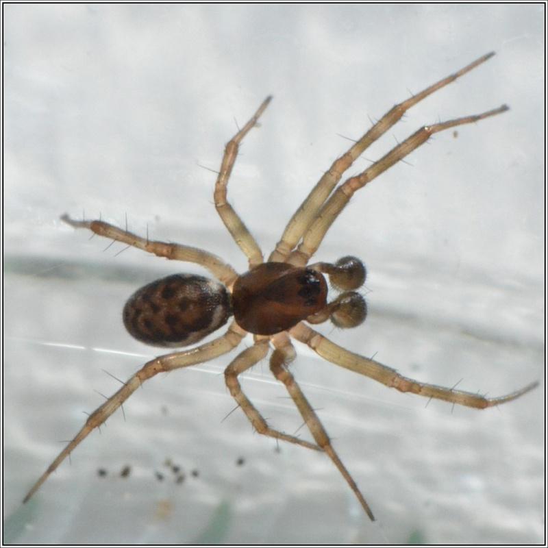 Linyphiidae : Tenuiphantes ou plutôt Neriene ? Tenuip11