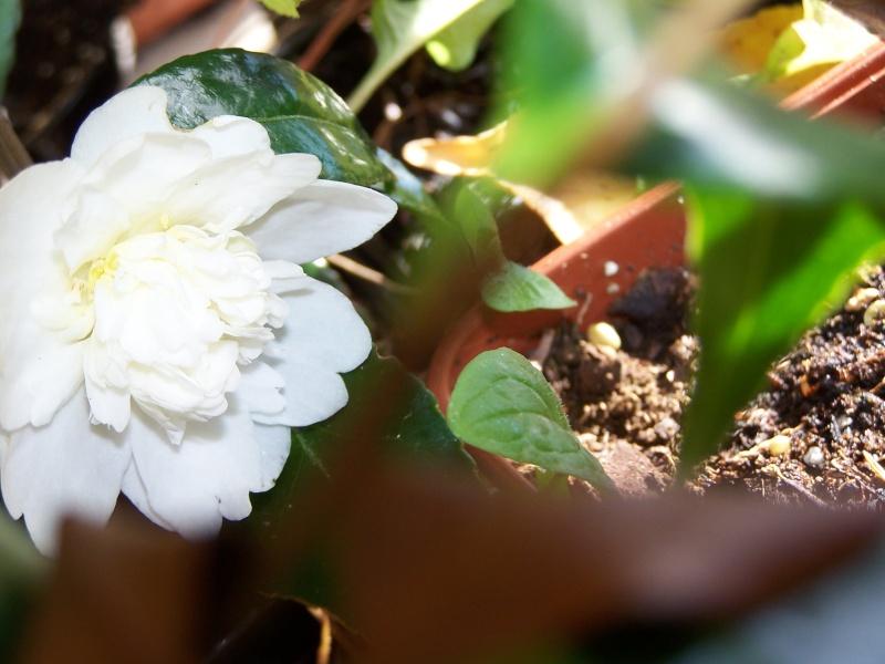 Camellia , saison 2015 - 2016 100_9411