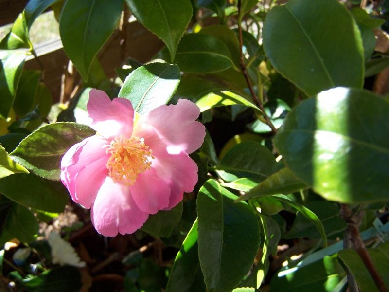 Camellia , saison 2015 - 2016 100_9412