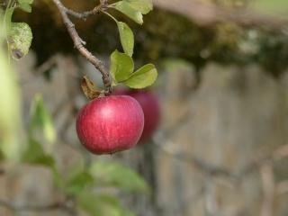 Des pommes, des poires... P1130611