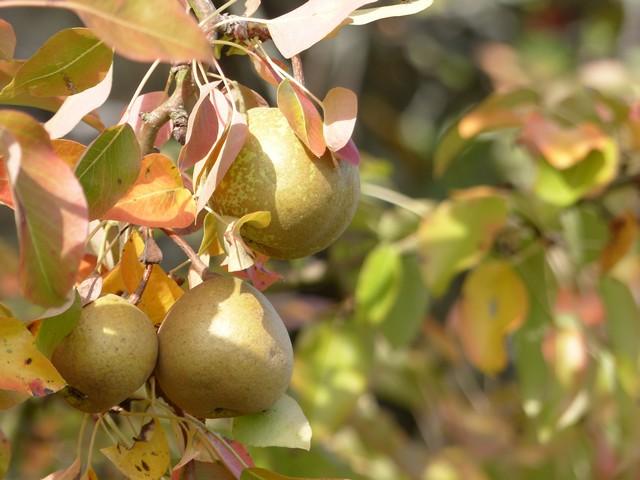 Des pommes, des poires... P1130613