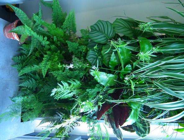 Mur Végétal horizontal, bac à côté? Dscf1717