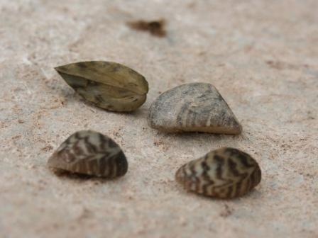 [résolu]Dreissena (Dreissena) polymorpha polymorpha (PALLAS, 1771) Pict0013
