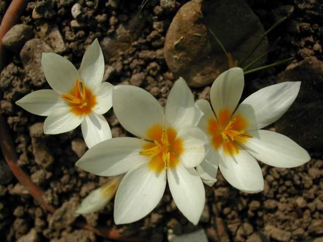 Crocus cancellatus ssp cancellatus Crocus13