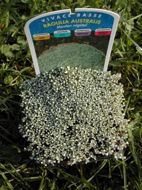 Raoulia australis Raouli10