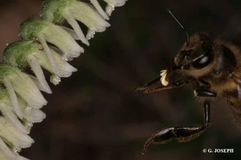 Spiranthes spiralis  ( Spiranthe d'automne ) 4_poll10