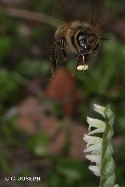 Spiranthes spiralis  ( Spiranthe d'automne ) 5_poll10