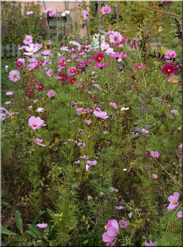 le jardin d'agrément chez Princesse - Page 6 Cosmos10