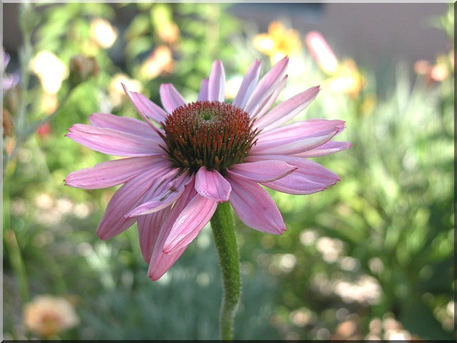 Les plantes des ami(e)s Echina10