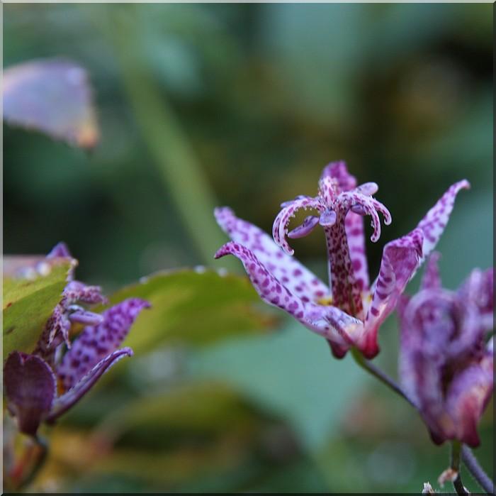 Tricyrtis hirta (lys des crapauds)  très jolie petite inconnue Img_1712