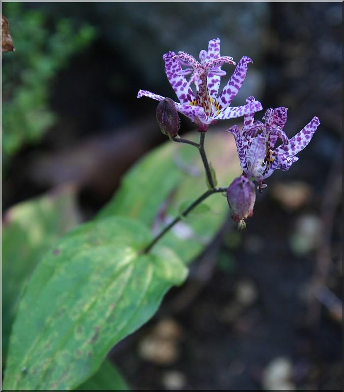 Tricyrtis hirta (lys des crapauds)  très jolie petite inconnue Img_1714