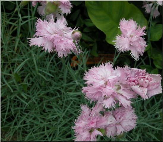 Les plantes des ami(e)s Oeille10