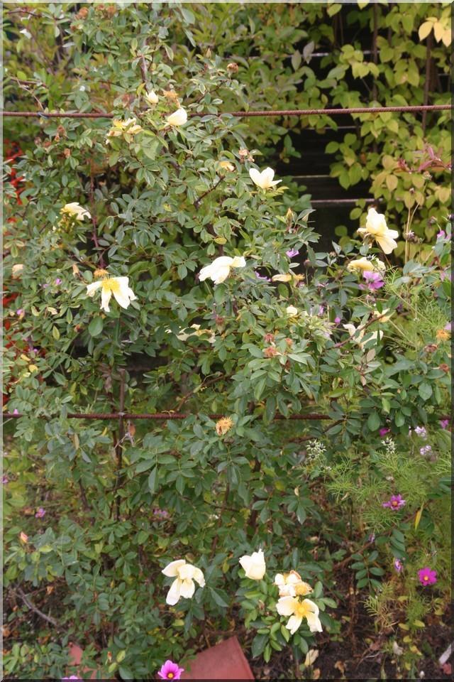 le jardin d'agrément chez Princesse - Page 6 Rosier11