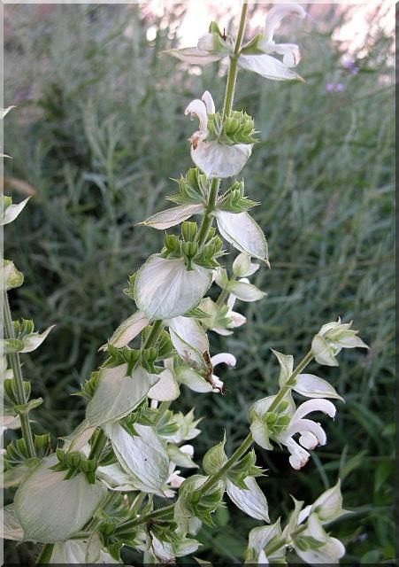Les plantes des ami(e)s Sauge_10