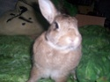 [rongeurs,...] Le lapin Photo_10