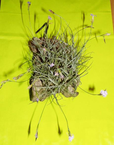 2ème salon international d'orchidées à Oudenaarde Capill10