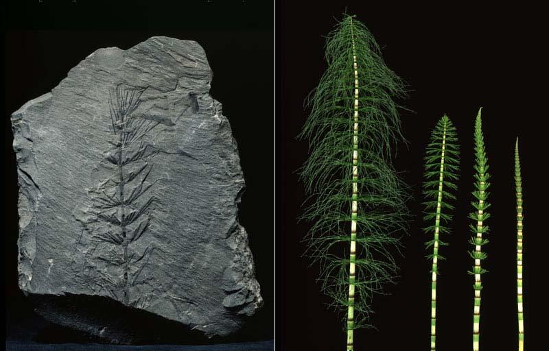 Asterophyllites Plante10