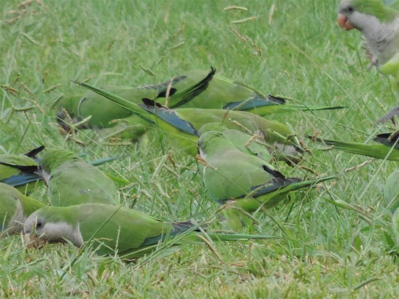 Oiseaux de l'Espagne (Costa del Sol) Espagn13
