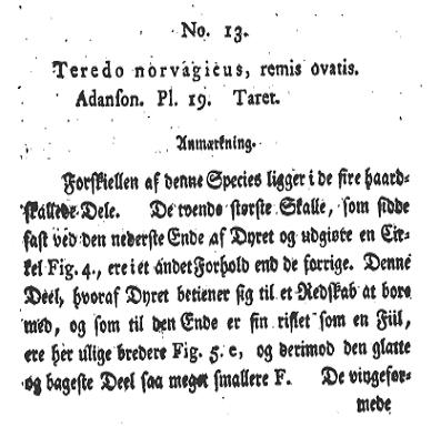 Nototeredo norvegica (Spengler, 1792) Notote11