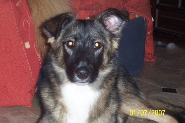 Jeune chienne Berger Roumain 7 mois - en France  93 depuis fevrier (93) 100_2110