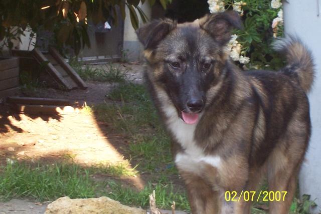 Jeune chienne Berger Roumain 7 mois - en France  93 depuis fevrier (93) 100_2111
