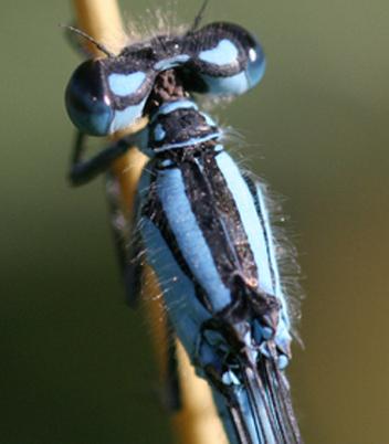 Coléoptères Agrion10