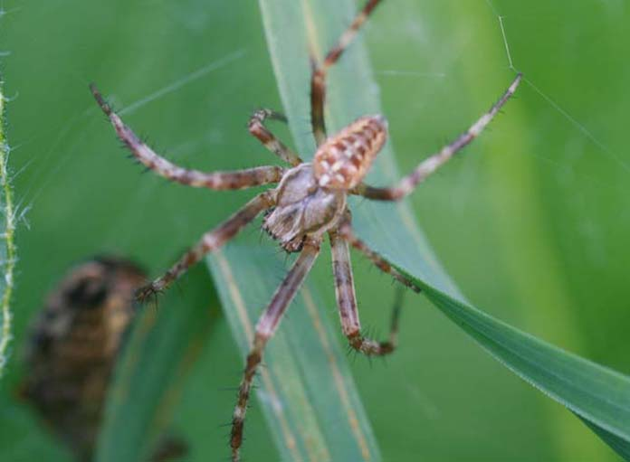 Identification araignées Img_5810
