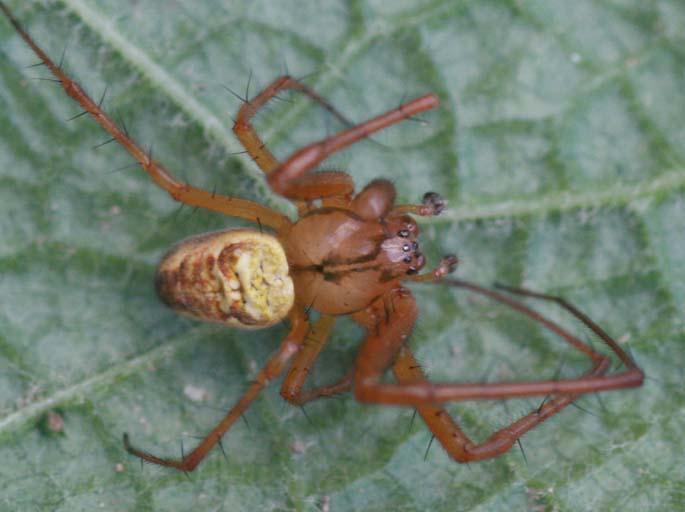 Identification araignées Img_5910