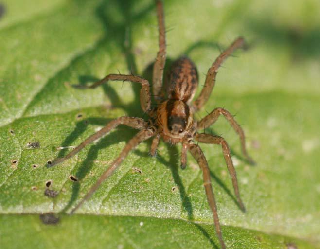 Identification araignées Img_5911