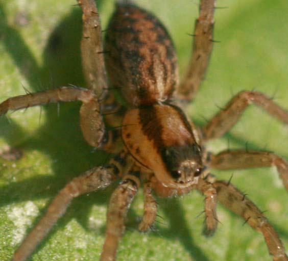 Identification araignées Img_5912