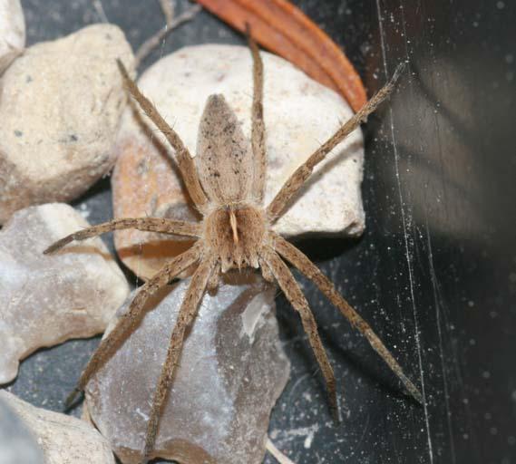 Identification araignées Img_6110