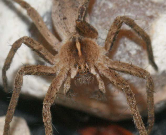 Identification araignées Img_6111