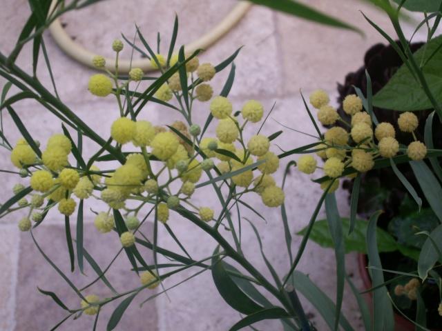 Mimosa des 4 saisons Pict1310