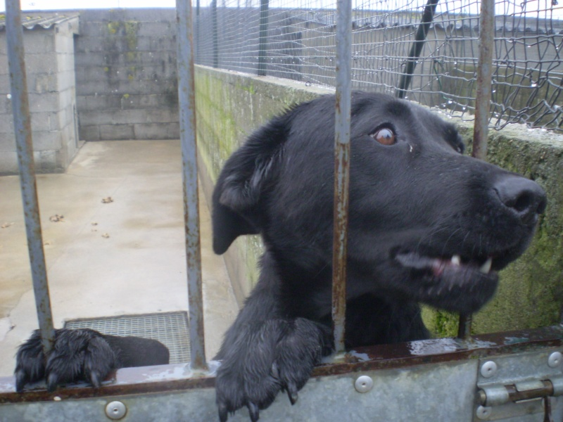 Les chiens de fourrière NOTRE PRIORITE !!!!!!! Labra_10